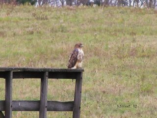 Hawk hunting from a hay wagon