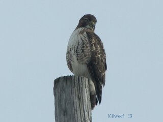 Hawk in Endwell