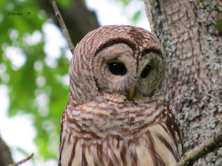 The Beautiful Barred Owl