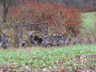Turkeys heading down into the woods