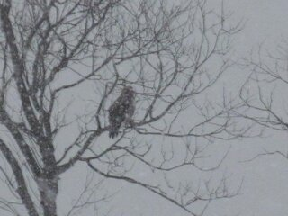 a Hawk braveing the new Snow