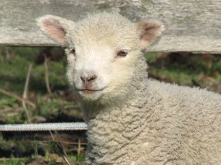 Baby Lambs just in time for Easter