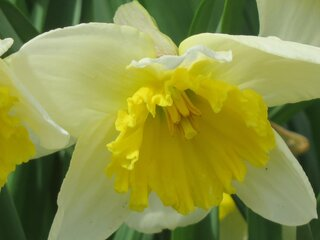 Daffodils Brighten the Yards