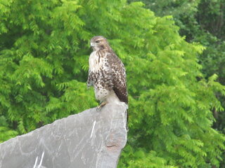 Hawk  on a flag stone