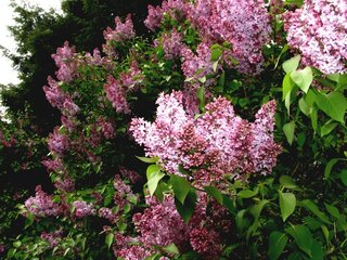 Lilac's are almost  out -Freeze Warning