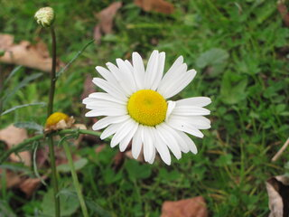 Last daisy of summer