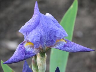 Iris Starting to Bloom