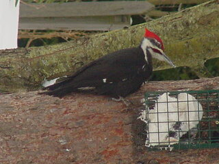 Pileated woodpecker visitor