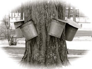 It's Maple Sap Time