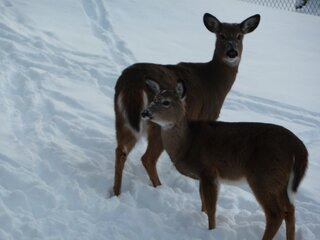 Deer visitors in the snow