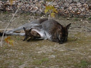 Baby Wallaby at the zoo