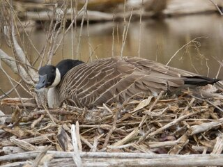 Mother Goose sitting on her nest