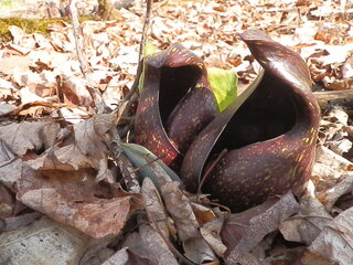 P      U           Skunk Cabbage