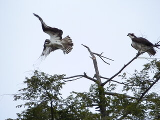 Osprey at The Pond