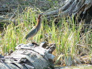 Green Heron, is Back