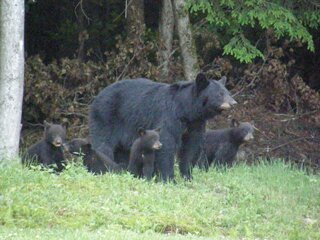 Bears in the backyard.