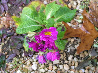 Last primrose of the season
