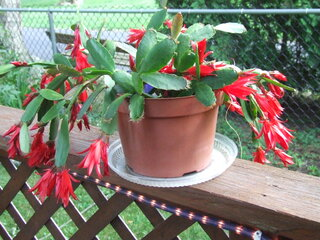 Our cactus is in bloom!