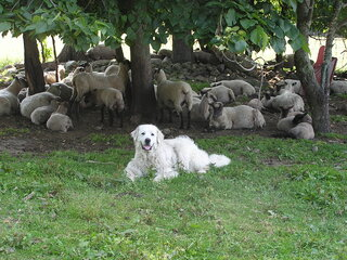 Polly (LGD) with the sheep