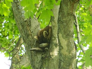 Racoon sleeping it off