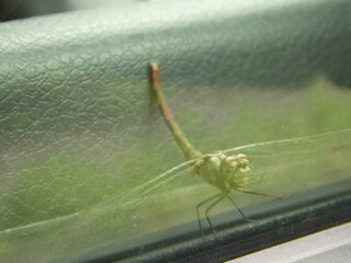 Friendly little Dragon fly