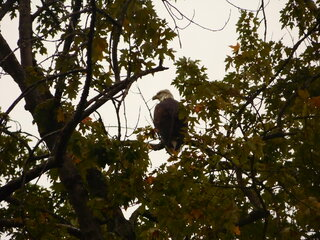 Spotted a bald eagle!