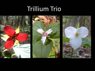 Cole Park Wildflowers -- Trilliums