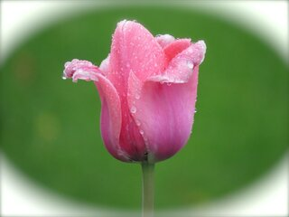 Raindrops on Tulip
