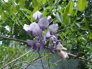 Our Wisteria finally blossomed!!!!