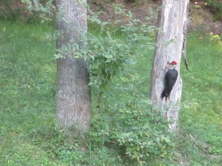 Woody Woodpecker stops by