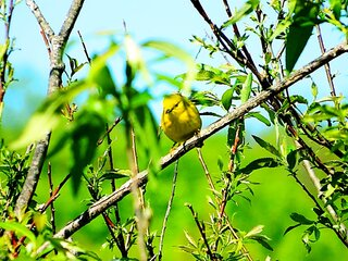 Yellow Warbler & Their Eggs