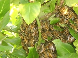 Ball of Honey Bees Resting