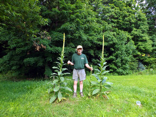 Two 8 Foot Mullein Plants