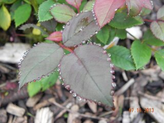 Dew on the rose leaves