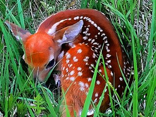 The New Baby Fawn