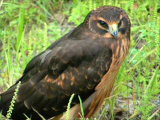 Buteo 8/17/12