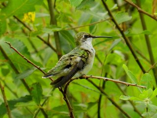 Hummingbird Before the Rain