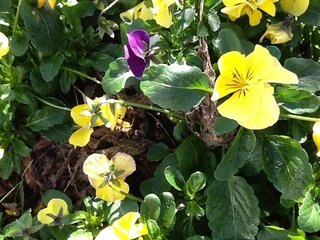 Pansies on Thanksgiving
