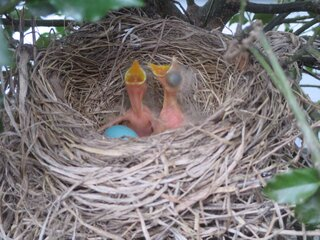 The robin's eggs have hatched!