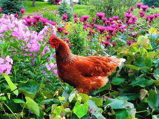 Sunshine, Flowers and Red Hen