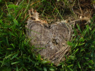 Heart of the stump