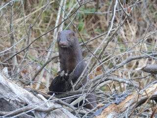 Mink at The Pond
