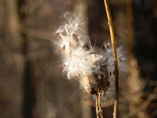 Milkweed in the morning sun