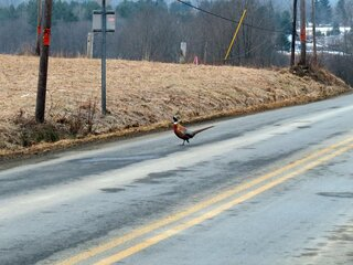 Pheasant strutting along