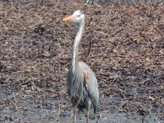 Great Blue Heron in the swamp on Rte.12