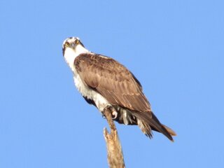 Osprey on a Cold Morning