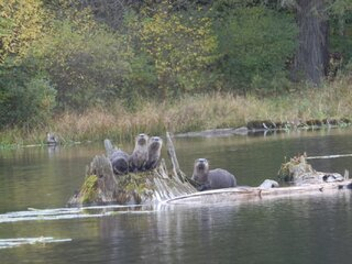 Otters at the Pond