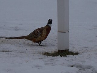 Hungry Pheasant