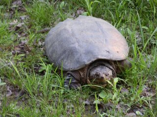 Snapping Turtle,  Laying Her Eggs