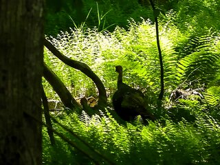 Turkey In The Woods